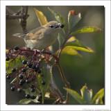 Tuinfluiter - Sylvia borin - Garden Warbler