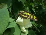Butterfly00013.jpg