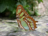 Butterfly00015.jpg