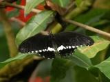 Butterfly00023.jpg