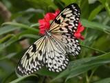 Butterfly00027.jpg