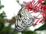Butterfly00029.jpg