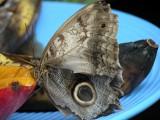 Butterfly00035.jpg