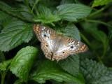 Butterfly00036.jpg