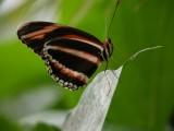 Butterfly00037.jpg