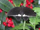 Butterfly00043.jpg