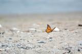 Butterflyl01.jpg