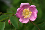 Wild rose near Koosah Falls