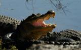 Gaping Alligator.jpg