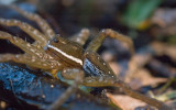 Six-spotted Fishing Spider.jpg