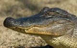 Alligator Smile.jpg