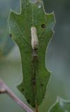 Long-jawed Spider.jpg