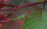 male Green Lynx Spider.jpg