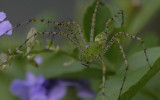 male Gree Linx Spider.jpg