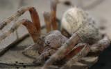 Lattice Spider.jpg