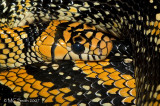 Mexican Tiger Rat Snake - (Spilotes pullatus mexicanus)