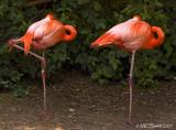 American Flamingo - (Phoenicopterus ruber ruber)