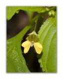 1394 Impatiens parviflora