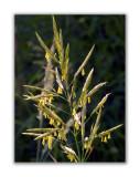 2626 Festuca heterophylla