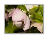 120 Helleborus orientalis