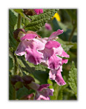 1648 Melittis melissophyllum