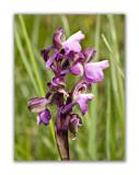 2982 Orchis morio