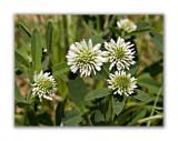 1134 Trifolium montanum