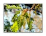 248 Quercus pubescent