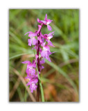 2991 Orchis mascula