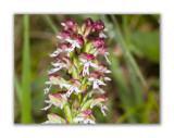 2984 Orchis ustulata