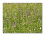 2957 Gymnadenia conopsea