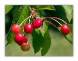 1072 Prunus cerasus