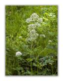 2013 Valeriana officinalis