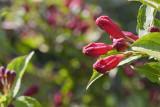 Weigelia X Bristol ruby