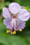 Geranium macrorhizum Spessart