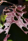 Corylus avellana atropurpurea