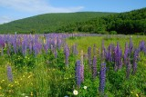 Overal wilde lupines