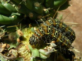 Caterpillars feeding on smooth chain-fruit cholla