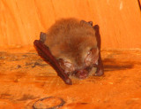 Sleepy Townsends big-eared bat in the woolshed