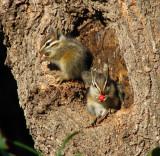 Baby chipmunks eating Nandina berries