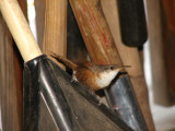 Mama Canyon wren keeping an eye on her babies in the tool crib. There were about 5 of them!