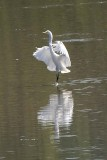GREAT EGRET - SOFT LANDING