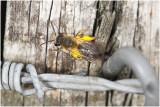 Zandbij soort  - Andrena spec - vrouwtje