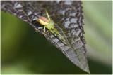 Krabspin - Xysticus soort