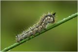rietvink - nachtvlinder