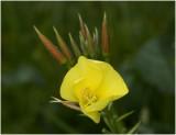 Middelste Teunisbloem - Oenothera biennis