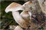 Wollige bundelzwam - Pholiota populnea