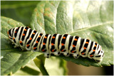 1   Koninginnepage - Papilio machaon