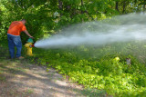 Watering the poison ivy.