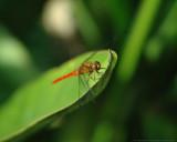 Les libellules de Mata-Mata
